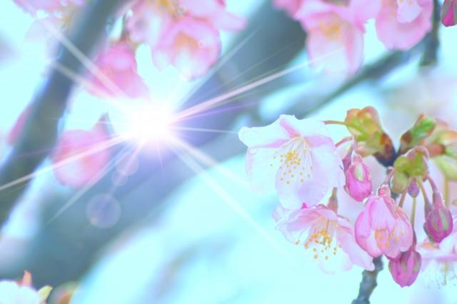 桜の花の間に差し込む光