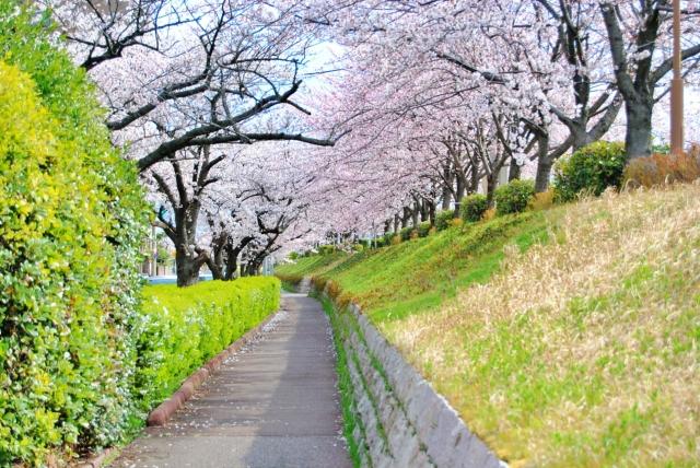 桜の咲く小道